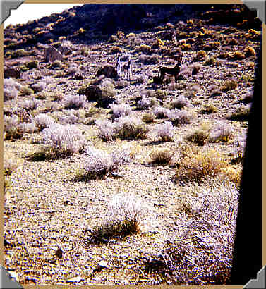 Striped Butte Valley - 3 feral burros - 10/1976